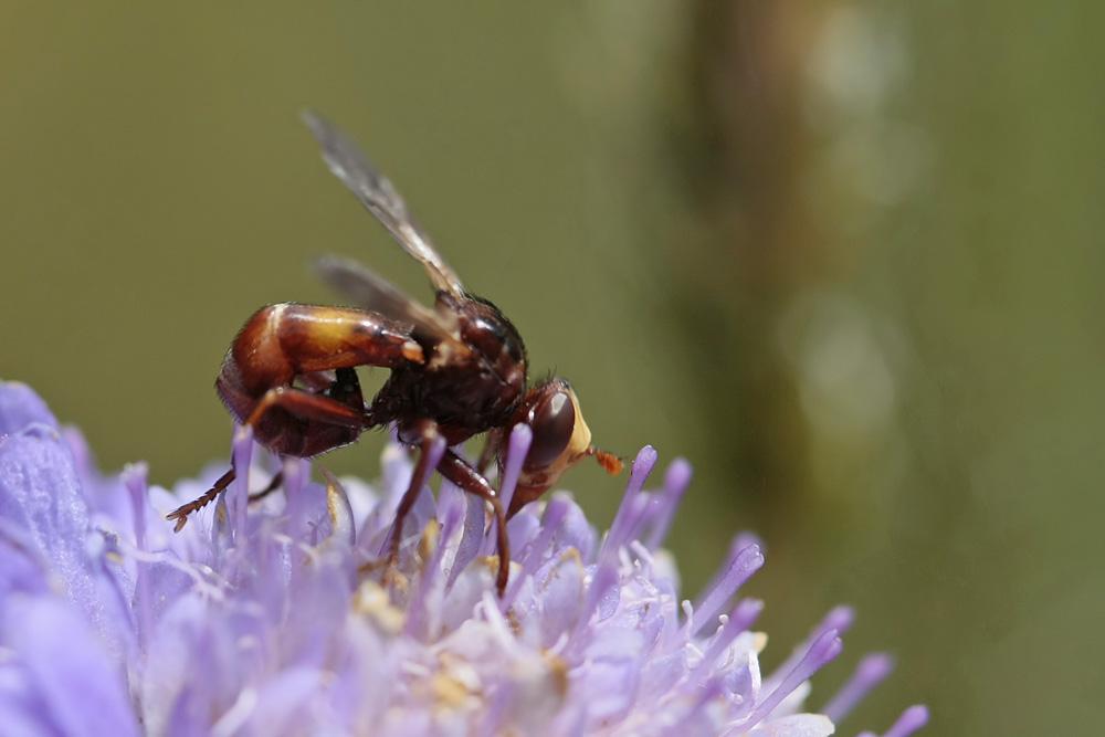Conopidae (Sicus  ferrugineus)