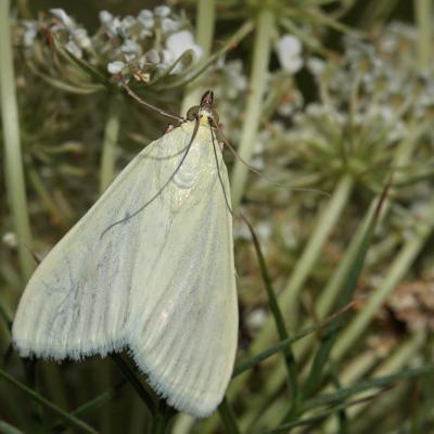 Le Botys verdâtre (Sitochroa palealis)