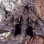 Le Sphinx demi paon (Smeranthus ocellata)