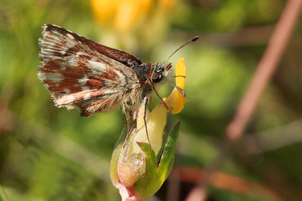 L' Hespérie des sanguisobes ou Roussatre (Spialia sertorius)