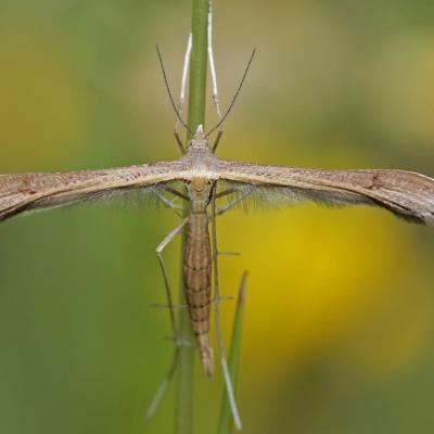 Stenoptiliia pterodactyla