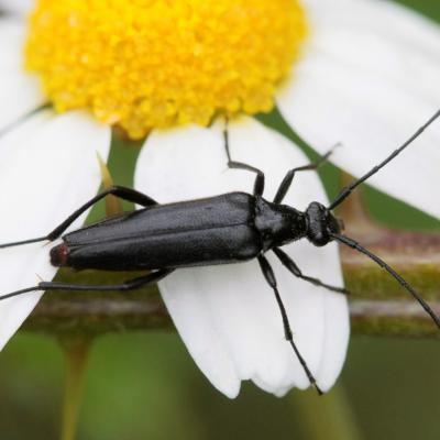 Lepture noire (Stenurella nigra)
