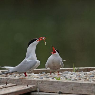 Sterne pierregarin (Sterna hirundo) couple.