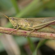 Criquet ensanglanté (Stethophyma grossum) femelle
