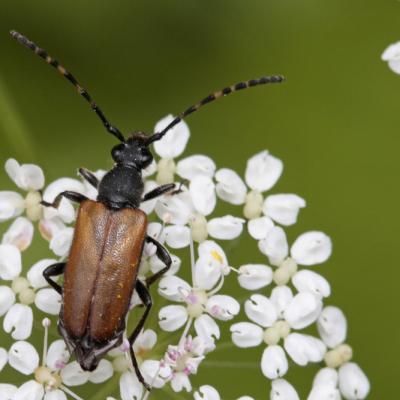 Lepture à antennes tachetées (Stictoleptura maculicornis)