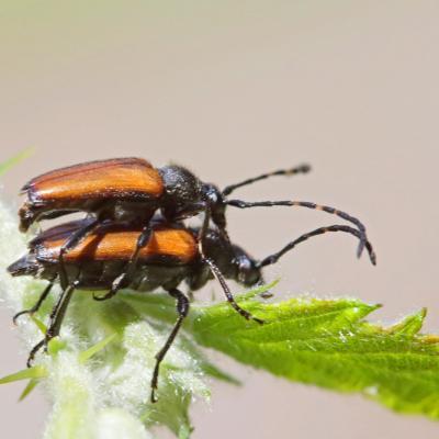Lepture à antennes tachetées (Stictoleptura maculicornis) couple