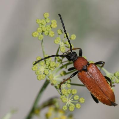 Lepture rouge (Stictoleptura rubra)