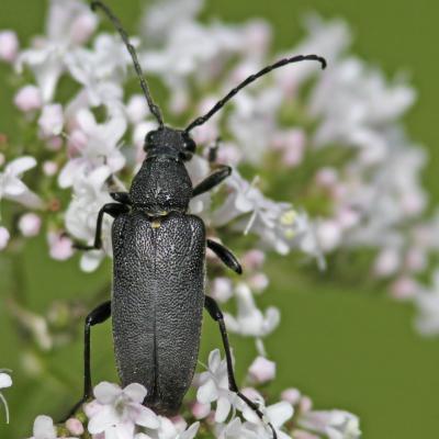 Lepture ecussonnée (Stictoleptura scutellata)