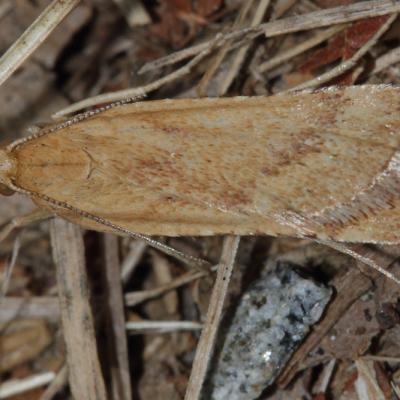 La Clédéobie étroite (Synaphe punctalis)
