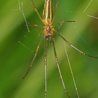 Tetragnathe (Tetragnatha montana)