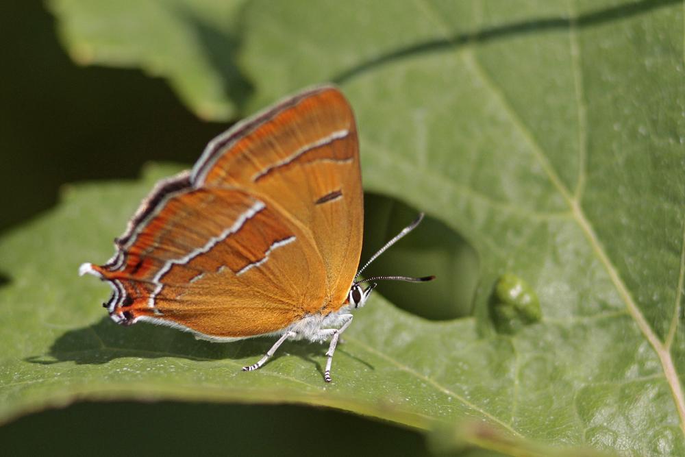 Thécla du bouleau (Thecla betulae)