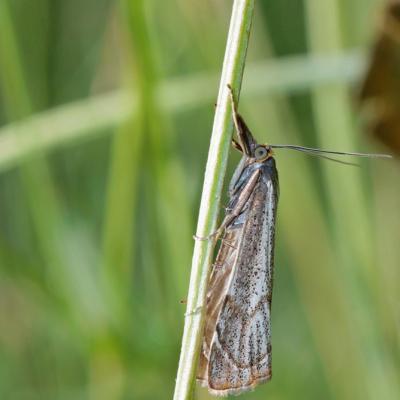 Le Crambus des champs (Thisanotia chrysonuchella)