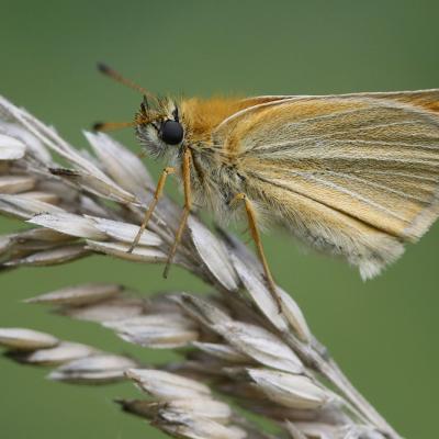 L'Hespérie du dactyle (Thymélicus lineolus)