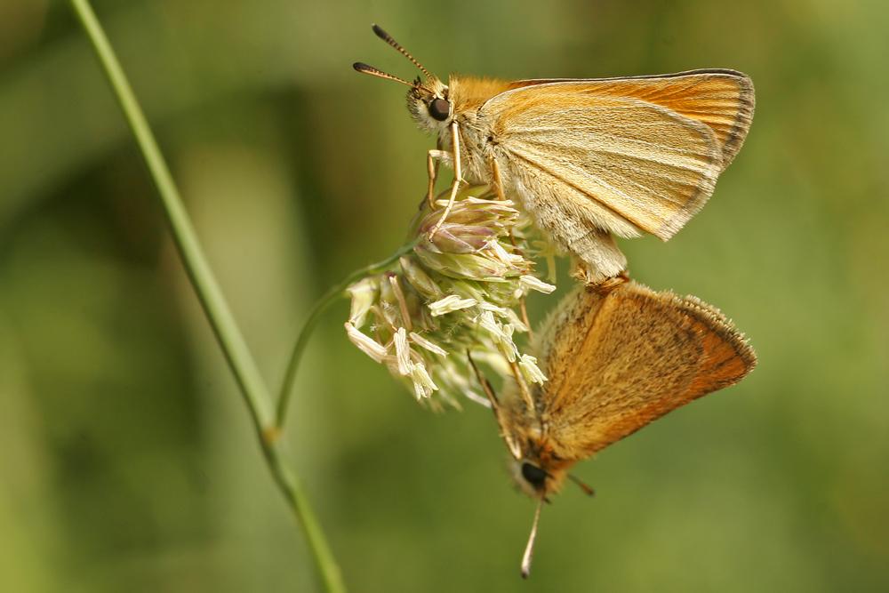 L' Hespérie du dactyle (Thymelicus lineolus) couple.