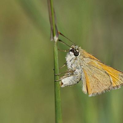 L'Hespérie de la houque (Thymelicus sylvestris) femelle en ponte