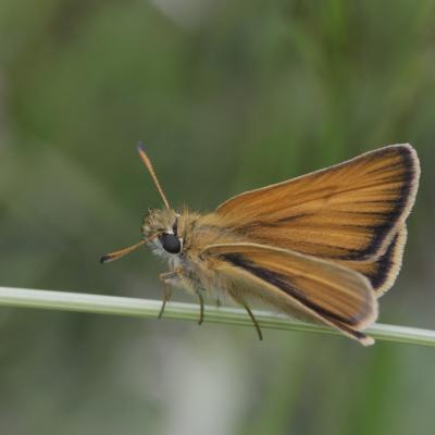 L'Hespérie de la houque (Thymelicus sylvestris)