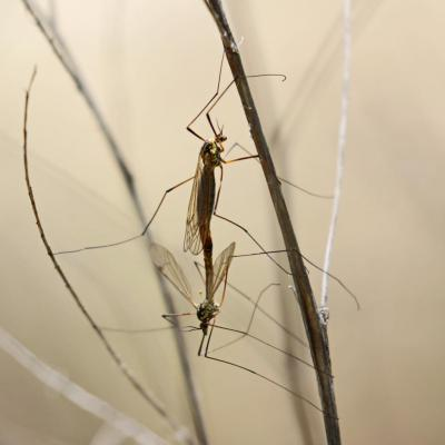 Tipula appendiculata couple