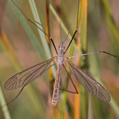 Tipula luteipennis