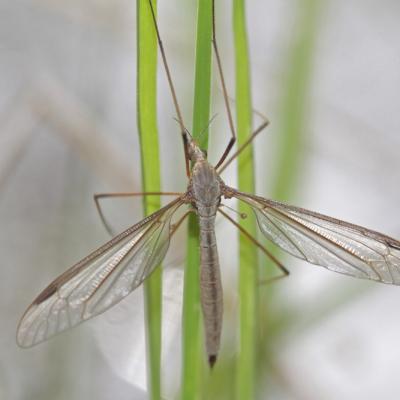 Tipule du chou (Tipula oleracea)