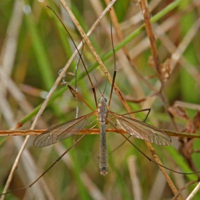 Tipule des prairies (Tipula paludosa)