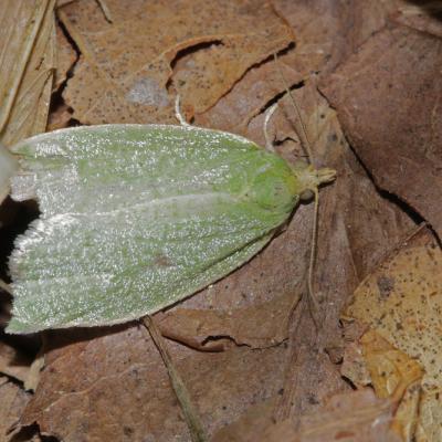 La Tordeuse verte du chêne (Tortrix viridana)