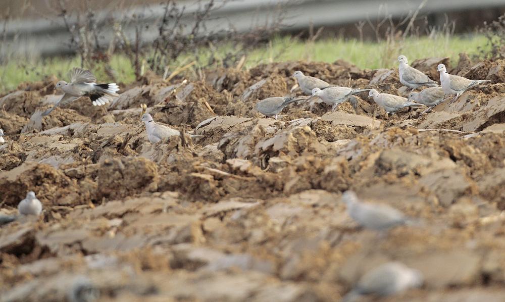 Tourterelle turque (Streptotelia décaocto)