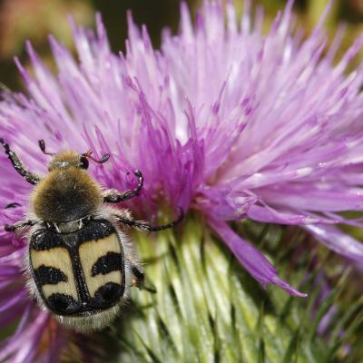 Trichie a bandes (Trichius fasciata)