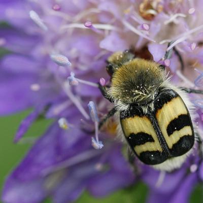 Trichie à bandes (Trichius fasciatus)