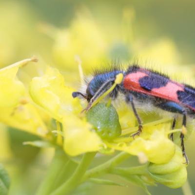 le Clairon des ruches (Trichodes alvearius)