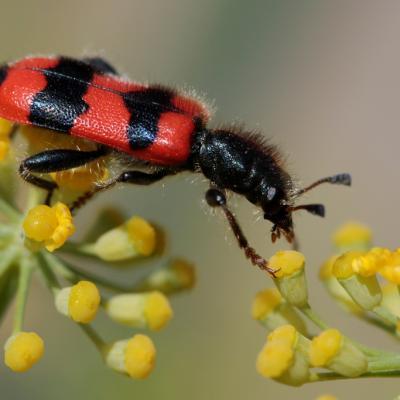 Clairon des abeilles (Trichodes apiarius)