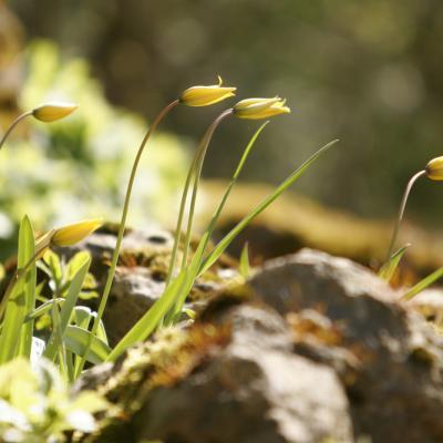 Tulipe sauvage (Tulipa sylvestris)