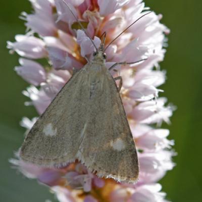 Le Botys alpin (Udea alpinalis)