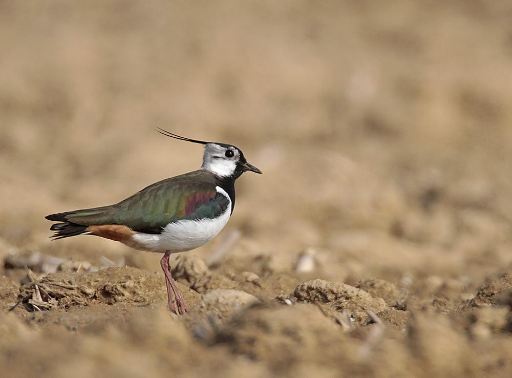 Vanneau  huppé   (Vanellus vanellus)