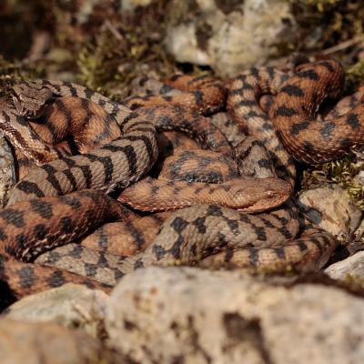 Vipère aspic (Vipera aspis)