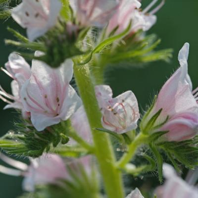 Vipérine (Echium candicans) variété rose