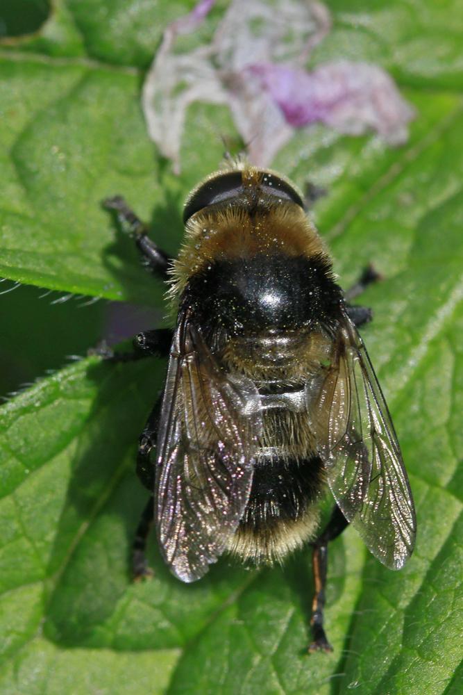 Volucelle bourdon (Volucella bombylans) mâle