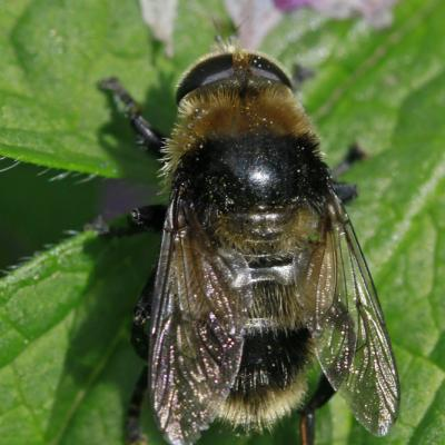 Volucelle bourdon (Volucella bombylans) mâle