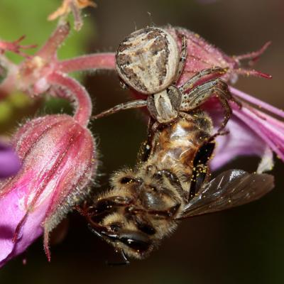 Xystique crêté (Xysticus cristatus)