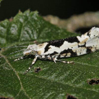 Ypsolophe sinuée (Ypsolopha sequella)