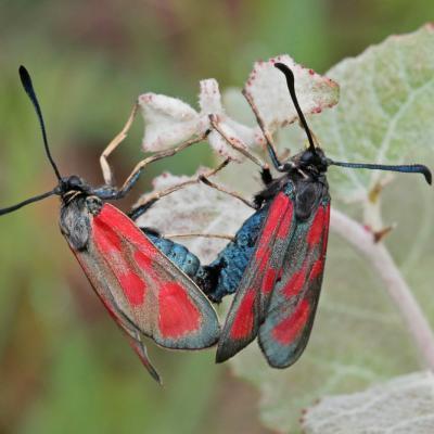 Zygène du lotier (Zygaena loti) couple.